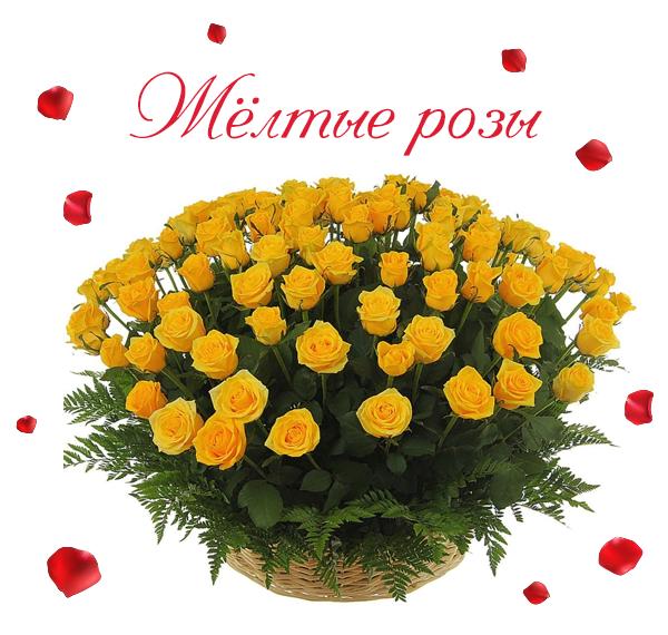 Фото свежих, изящных желтых роз