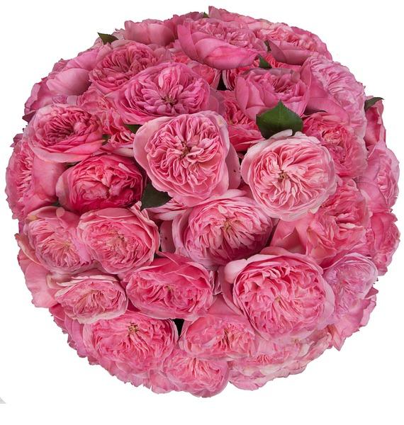 Букет пионовидных роз Maria Theresia (15, 25 или 51) – фото № 5