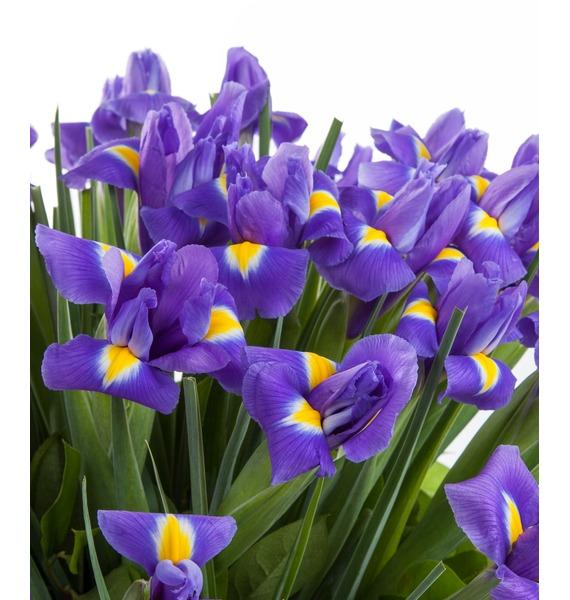 Bouquet of irises Blue Magic (51 or 101 of the iris) – photo #2