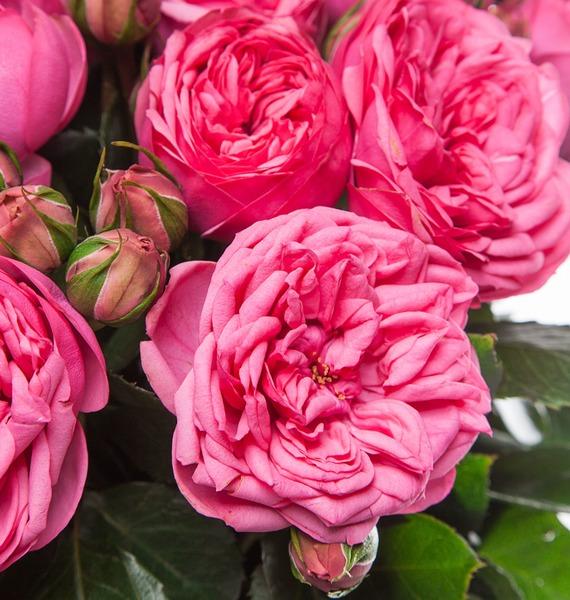 Букет из пионовидных роз Pink Piano (15, 25 или 51) – фото № 4