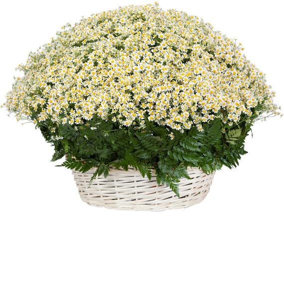 Композиция Ромашковое облако cms 33 10муз композиция цветочная корзина pavone
