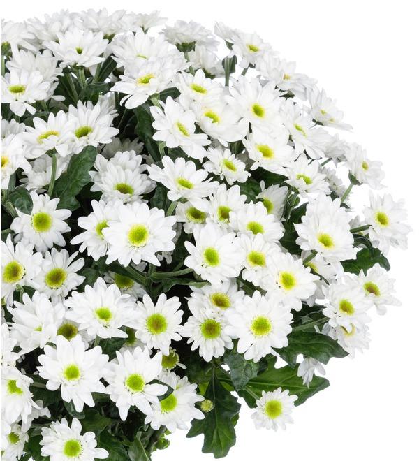 Букет-соло Белые хризантемы (15,25,51 или 101) – фото № 3