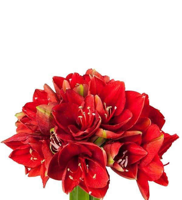 Букет-соло красных амариллисов Ferarri (5,7,9,15 или 25) – фото № 3