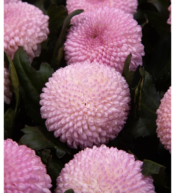 Bouquet-solo chrysanthemums Momoko (7,15,21,35 or 51) – photo #2
