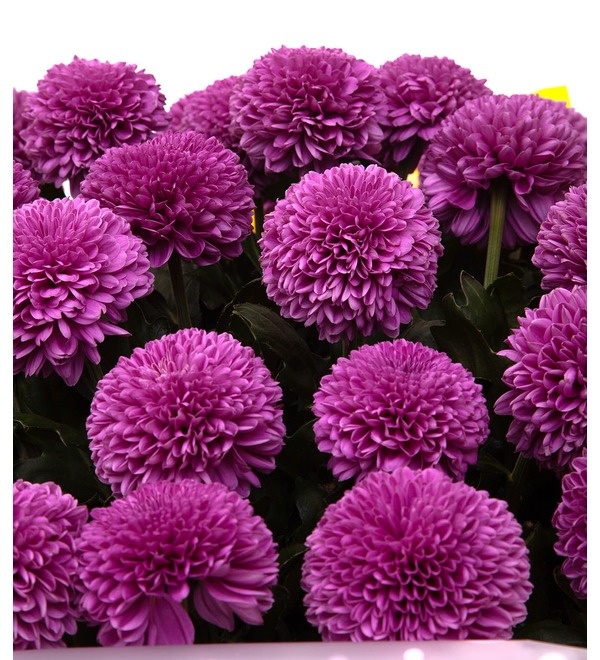 Bouquet-solo of chrysanthemums Gustav (7,15,21,35 or 51) – photo #2