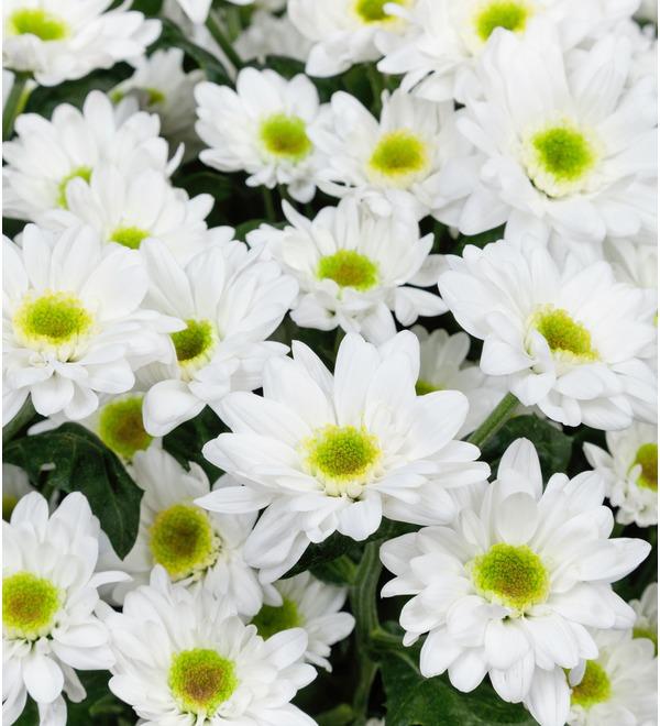 Букет-соло Белые хризантемы (15,25,51 или 101) – фото № 5