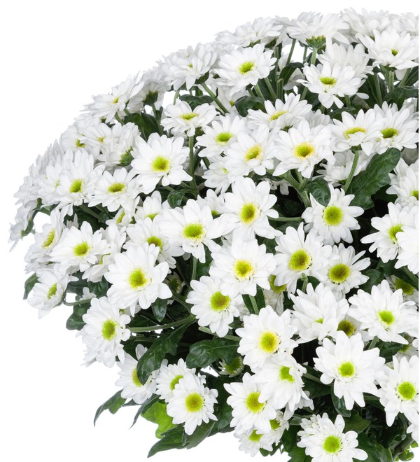 Букет-соло Белые хризантемы (15,25,51 или 101) – фото № 2