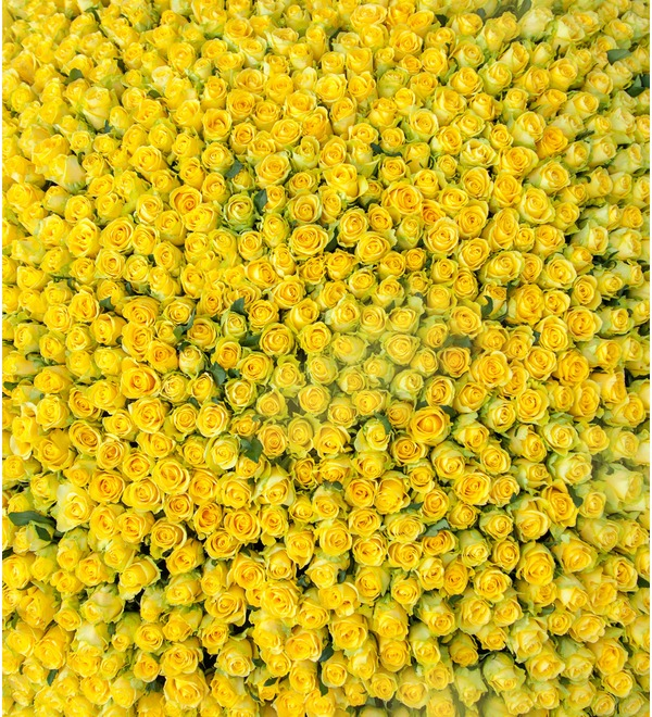 Composition of 501 or 1001 yellow roses Gold – photo #4